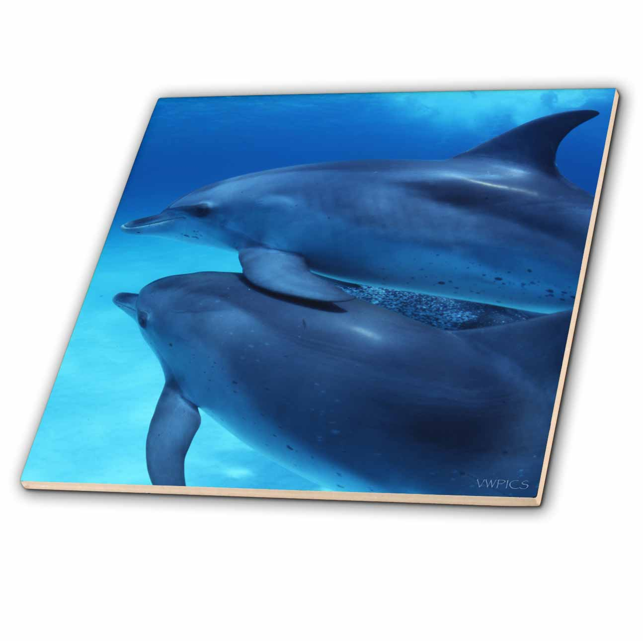 3dRose Two young dolphins, Stenella frontalis, swim together, Dophin Site, Bahamas - Ceramic Tile, 6-inch