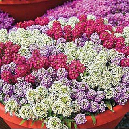 Alyssum Wonderland Mix Nice Garden Flower 50