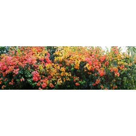 Bougainvillea flowers in garden St John US Virgin Islands Canvas Art - Panoramic Images (18 x