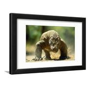 Komodo Dragon Framed Print Wall Art By Adrian Warren