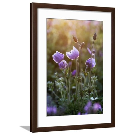 Poppy Anemone (Anemone Coronaria) Flowers and Seed Heads, Omalos, Crete, Greece, April 2009 Framed Print Wall Art By