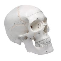 "Numbered Human Skull Anatomical Model, Medical Quality, Life Sized (9"" Height) - 3 Parts"