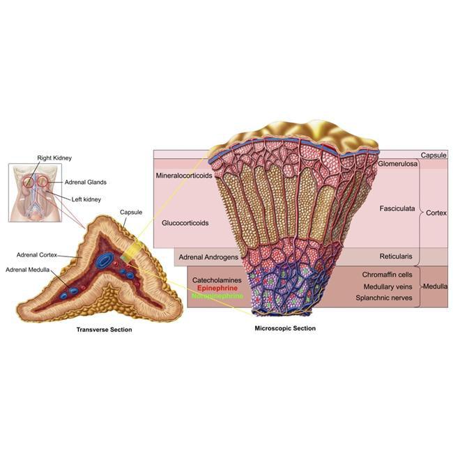 Adrenal Gland: StockTrek Images PSTSTK700194H Anatomy Of Adrenal Gland