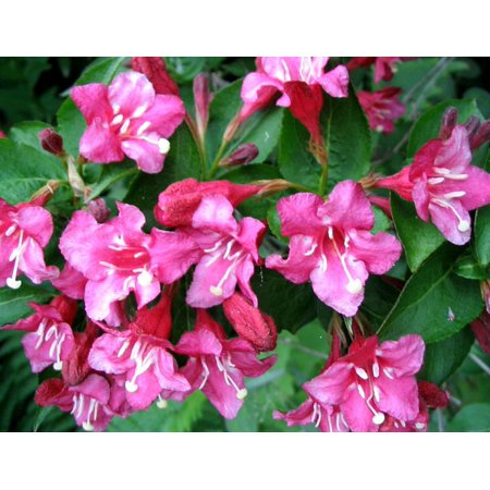 Image of Better Homes 1g Bhg Weigela