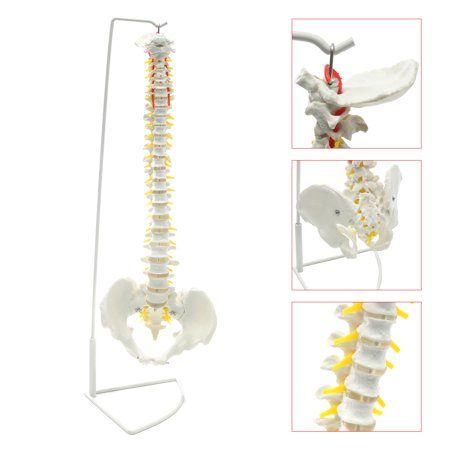 Mrosaa Human Anatomy Model - Life Size Flexible Chiropractic Human Spine Anatomical Model with Stand ()