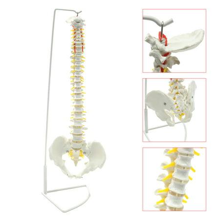 Flexible Spine (Mrosaa Human Anatomy Model - Life Size Flexible Chiropractic Human Spine Anatomical Model with)