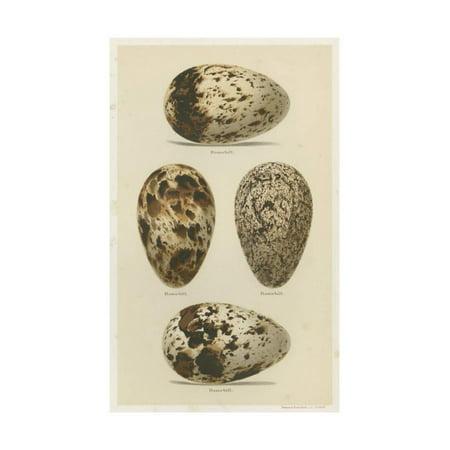 Seebohm Eggs (Antique Bird Egg Study VI Print Wall Art By Henry Seebohm )