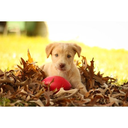 LAMINATED POSTER Golden Retriever Pit Lab Mix Pit Labrador Autumn Poster Print 24 x (Black Lab Pit Mix Puppies For Sale)