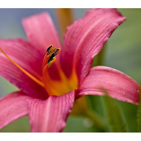 - Canvas Print Petals Stamens Blossoming Lily Plant Boost Flower Stretched Canvas 10 x 14