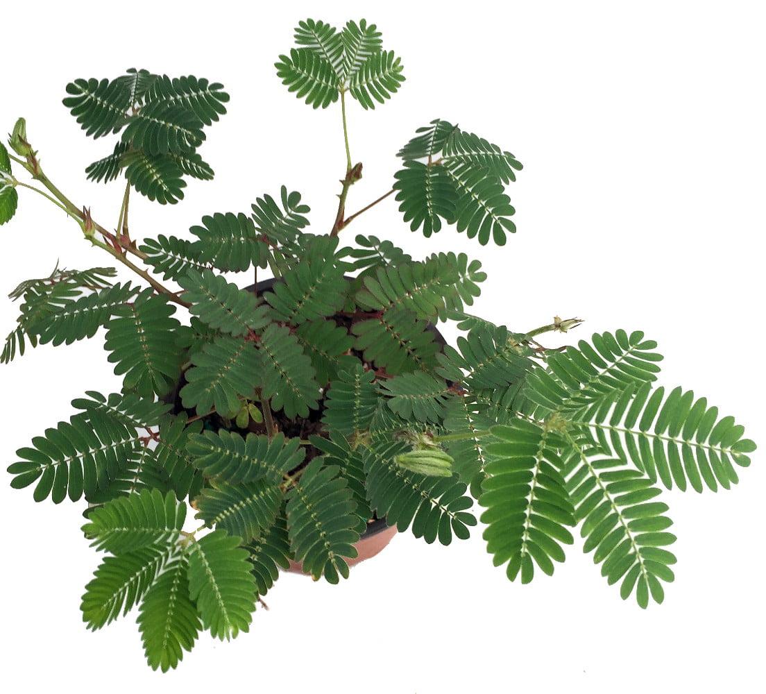Sensitive Plant - Leaves Move - Mimosa pudica - 3