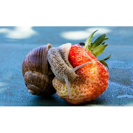 LAMINATED POSTER Food Eat Fruit Snail Strawberry Shell Nature Poster Print 24 x 36 - Slimy Foods For Halloween