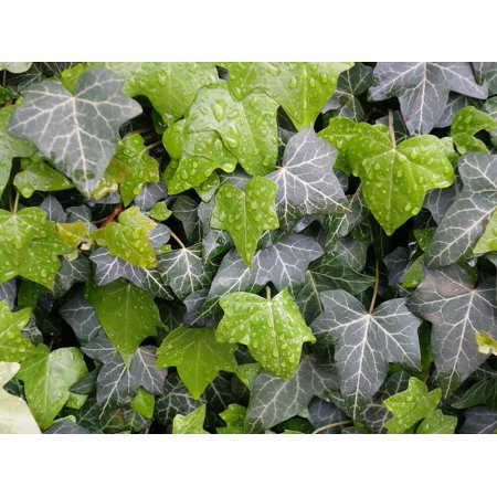 Canvas Print Hedera Pattern Hedera Helix Leaves Ivy Wet Plant Stretched Canvas 10 x