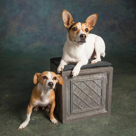 Portrait of a Jack Russell Terrier Dog and a Chihuahua Mix Dog Print Wall Art