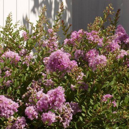 Image of 3 Gal - Early Bird Lavender Crapemyrtle - Lavender Blooms Late Spring through Fall - Deciduous Shrub