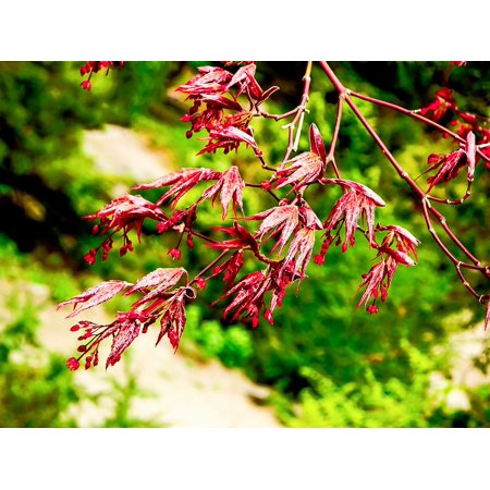 - Canvas Print New Life New Growth Japanese Maple Red Spring Bud Stretched Canvas 10 x 14