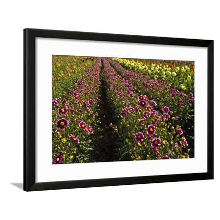 Dahlias, Dahlia Farm, Canby, Oregon, USA Framed Print Wall Art By Michel (Canby Woods)