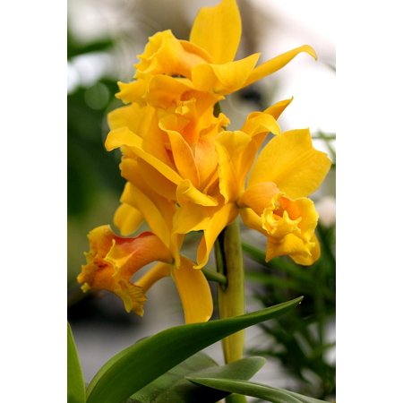 Orchid Yellow Plant Nature Flower Floral Botany-24 Inch By 36 Inch Laminated Poster With Bright Colors And Vivid Imagery-Fits Perfectly In Many Attractive Frames
