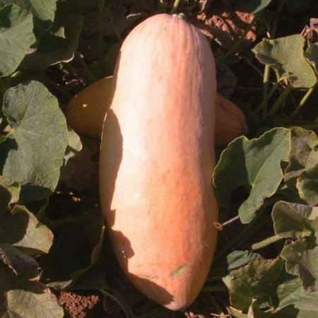 Squash Pink Banana Jumbo Garden Heirloom Vegetable 15 Seeds