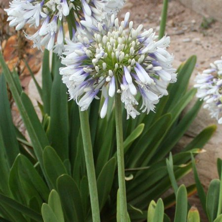 Queen mum agapanthus flowering perennial walmart queen mum agapanthus flowering perennial mightylinksfo