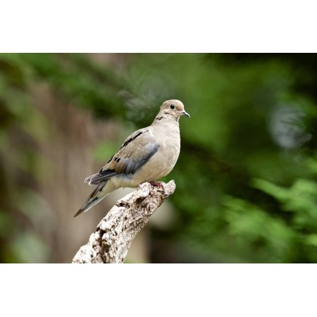Mourning Dove Print Wall Art By Gary Carter