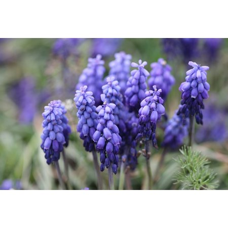 LAMINATED POSTER Nature Purple Hyacinth Flower Picture Macro Flower Poster Print 24 x 36