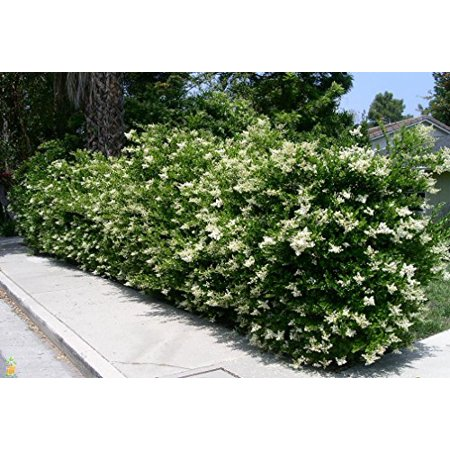 Ligustrum Waxleaf Privet Qty 60 Live Plants Evergreen Privacy