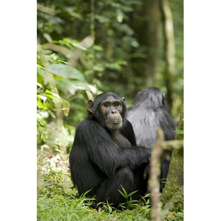 Africa, Uganda, Kibale National Park. Watchful young adult male chimpanzee named Peterson. Print Wall Art By Kristin (Names Of All National Parks In Usa)