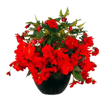 Pendula Red Begonia 2 Bulbs - 7/+ cm - Great in Hanging Baskets
