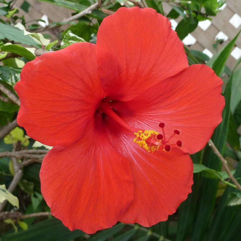 Spring Special Hawaiian Red Hibiscus Cutting 4 Pack Walmart Com Walmart Com