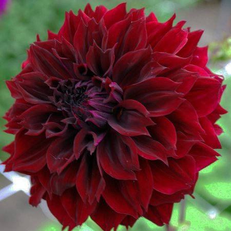 Dark Fubuki Dahlia - Huge Dinnerplate Fimbriata Flower - #1 Size Root Clump