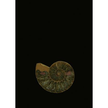 Fossilized Sea And Marine Shells Or Nautilus PosterPrint