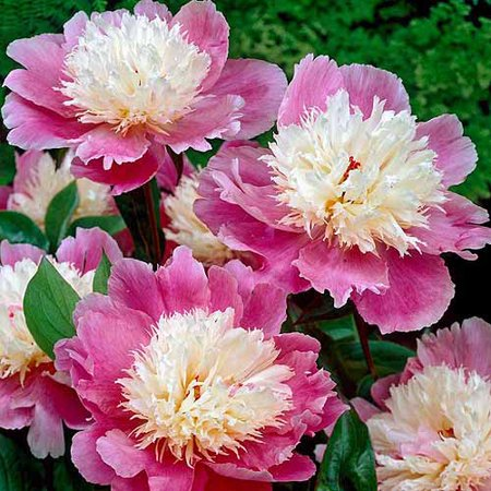 Image of Bloomsz Peony Bowl of Beauty Flower Bulbs/Roots, 5 pk