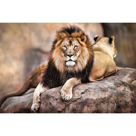 Pride Poster (King Of The Pride - Nature Poster / Print (Lion & Lioness) (Size: 36
