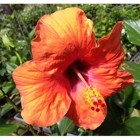 Hawaii Live Plants Hibiscus Nairobi Walmartcom