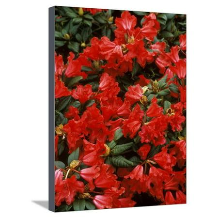 - Rhododendron Hybrid Scarlett Wonder,