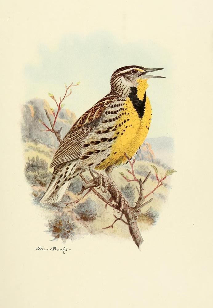 Birds Of California 1923 Western Meadowlark Canvas Art A Brooks 24 X 36