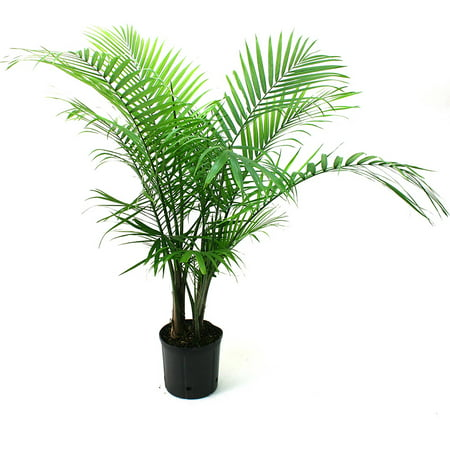 Delray Plants Majesty Palm (Ravenea rivularis) Easy to Grow Live House Plant, 10-inch Grower's Pot ()