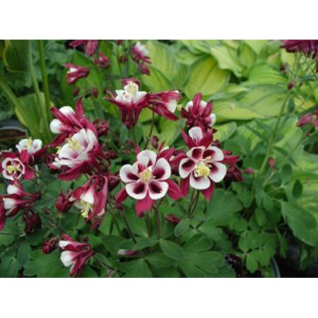 Image of Better Homes 2.5qt Bhg Aquilegia Winky