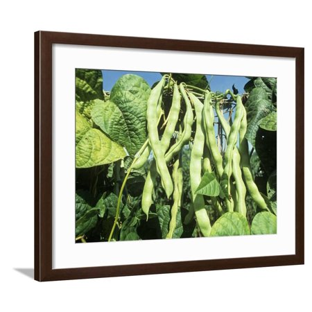 Bean Pole Clothing (Pole Snap Beans Ripening on the Plant, 'Champagne' Framed Print Wall Art By David Cavagnaro )