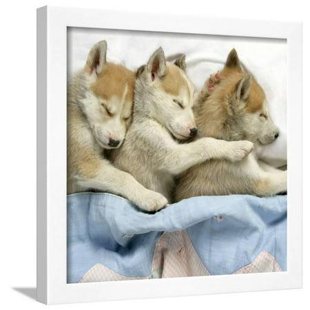 Husky Puppies (7 Weeks Old) Asleep in Bed Framed Print Wall