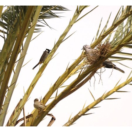 Canvas Print Sparrow Branch Date Palm Dove Tree Perched Birds Stretched Canvas 10 x 14](Palm Branches)