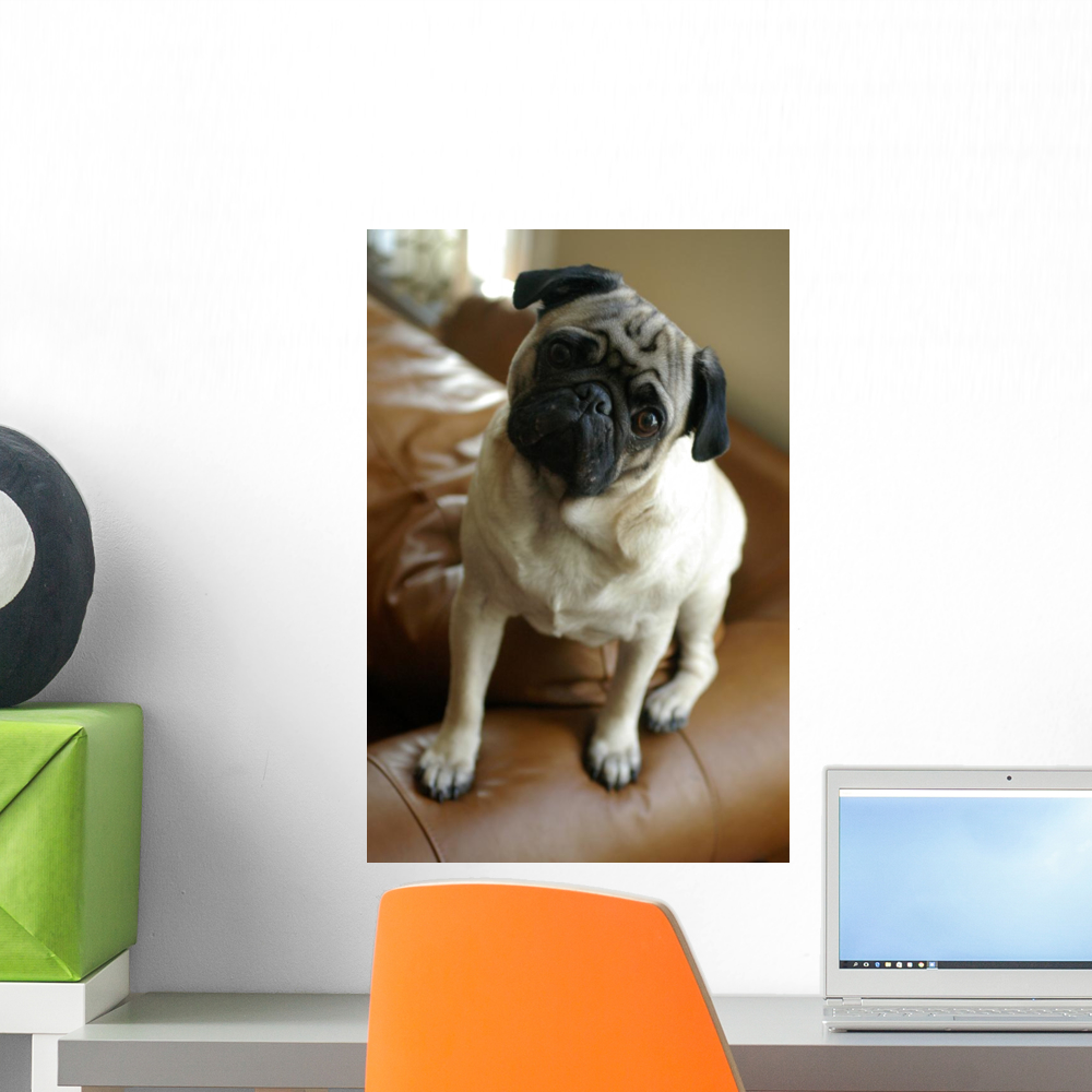 Listening Pug Wall Mural by Wallmonkeys Peel and Stick Graphic (18 in H x 12 in W) WM65878