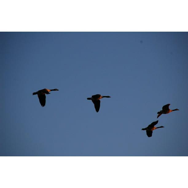 Peel-n-Stick Poster Of Flock Sky Geese Flying Migration