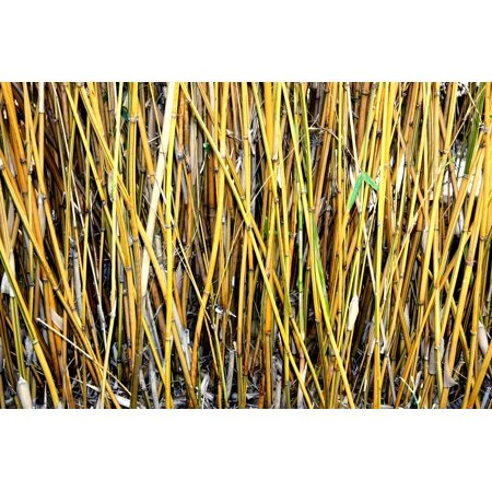 Framed Art for Your Wall Woody Yellow Woods Bamboo Thin Shoots Plants 10x13 Frame