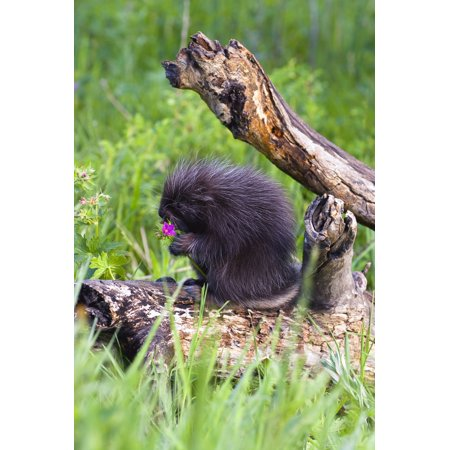 Porcupine Baby Eating Flower Stretched Canvas - John Pitcher  Design Pics (11 x 17)