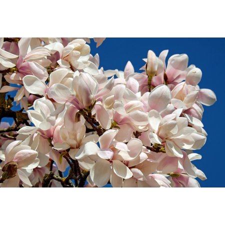 Peel-n-Stick Poster of Tree Magnolia Tulip Magnolia Bush Magnoliengewaechs Poster 24x16 Adhesive Sticker Poster Print