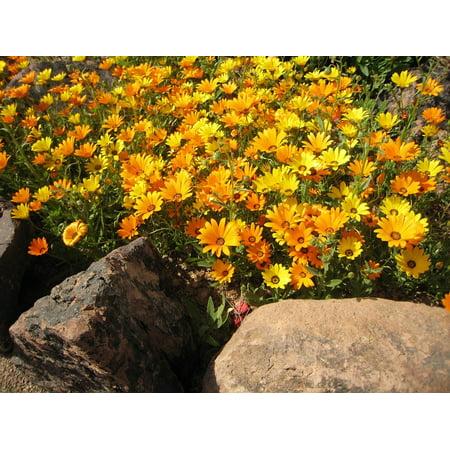 Calendula Pot (Canvas Print Calendula Marigold Asteracea Yellow Pot Mariogld Stretched Canvas 10 x 14 )