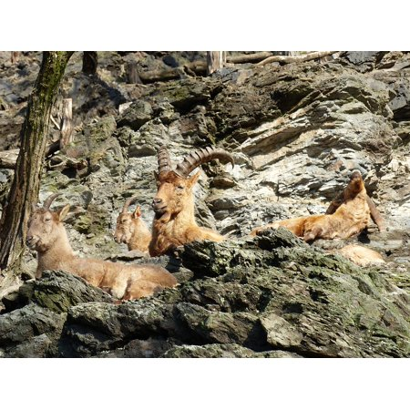 LAMINATED POSTER Stones Fauna Capricorn Animals Resting Zoo Poster Print 11 x (Best Stone For Capricorn)