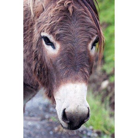 Donkey Head (Canvas Print Mammal Creature Donkey Head Donkey Livestock Head Stretched Canvas 10 x)