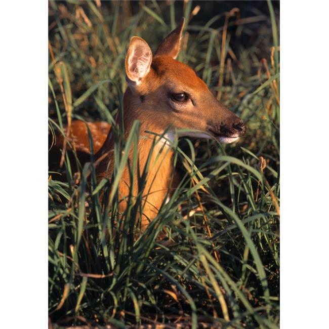 Posterazzi DPI1787809 Young Deer Laying in Grass Poster Print by Natural Selection Bill Byrne, 12 x 18 - image 1 of 1